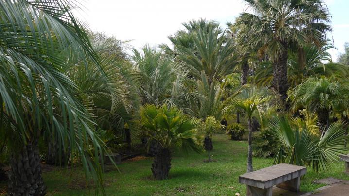Madere - Jardin botanique - Collection de multiples palmiers