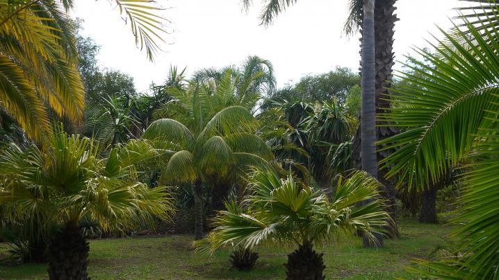 Madere - Jardin botanique - Le coin des palmiers