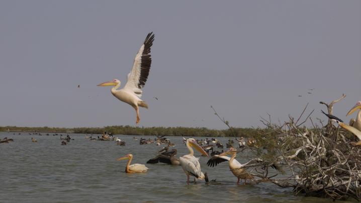 Senegal - Parc du Djoudj - Beau décollage