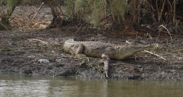 Senegal - Parc du Djoudj - Crocodile