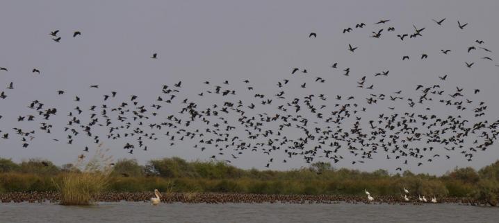 Senegal - Parc du Djoudj - Une réserve pour des millions d'oiseaux