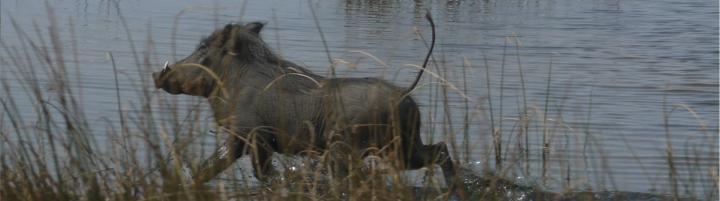Senegal - Parc du Djoudj - Il court il court le phacochere