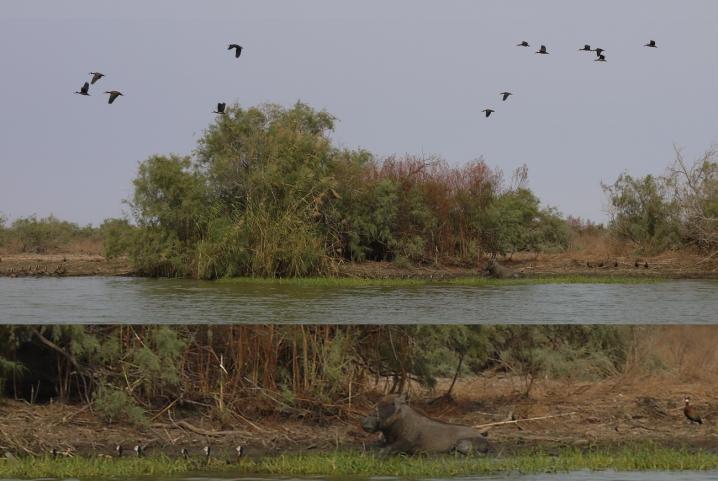 Senegal - Parc du Djoudj - Phacochère