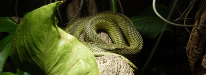 Venenum - Couleuvre verte à long nez