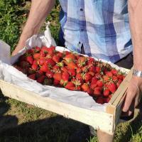 Grange de Louisias - Autocueillette de fraises